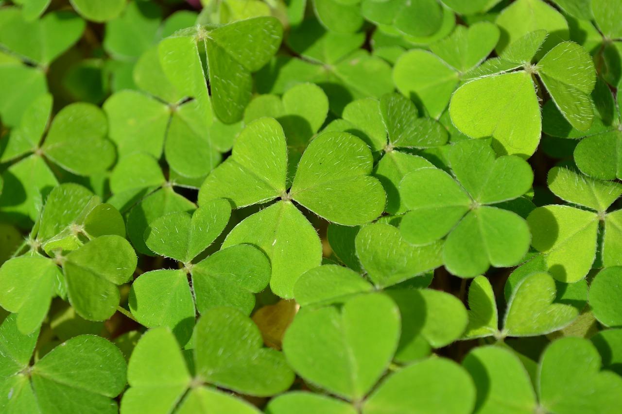 Los tréboles son el símbolo por excelencia de Irlanda